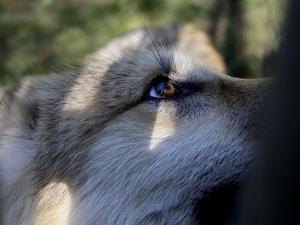 Wolves in Westchester by Seth Wenig
