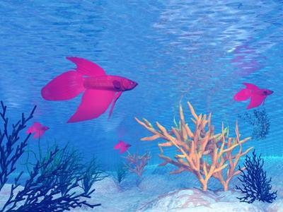 Several Red Betta Fish Swimming Underwater