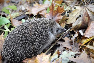 Hedgehog by Severas