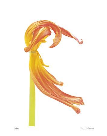 Orange Tulip No 23
