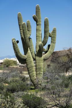 Saguaro Cactus by Shan Shui