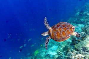 Sea Turtle by Shan Shui