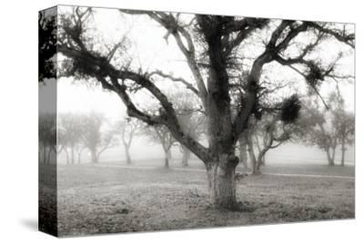 Oak Tree in the Fog by Shane Settle
