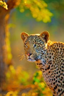 The Leopard Is Member of Felidae Family by Shannon Benson