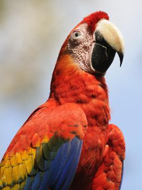 Scarlet Macaw (Ara Macao) by Shannon Nace