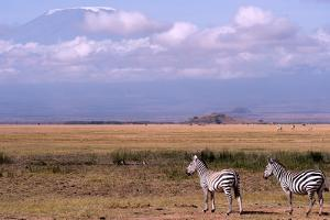 Mount Kilimanjaro Looms Above Zebras Razing in Amboseli National Park by Shannon Switzer