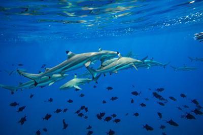 Sharks and Fish Swimming Underwater, Tahiti, French Polynesia