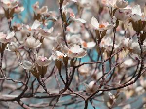 Dogwood Spring I by Sharon Chandler