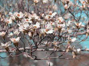 Dogwood Spring II by Sharon Chandler