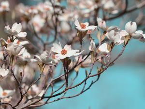 Dogwood Spring III by Sharon Chandler