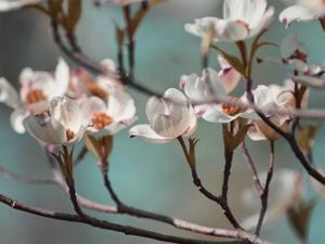 Dogwood Spring IV by Sharon Chandler