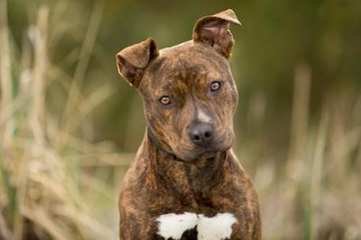 Pitbull Puppy by Sharon