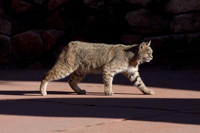 American Bobcat (Lynx Rufus) Walking On A Pavement In Denver, Colorado, USA, December