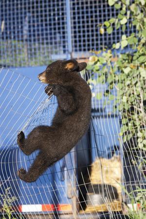 Black Bear (Ursus Americanus) Cub Climbing A Fence, Minnesota, USA, May