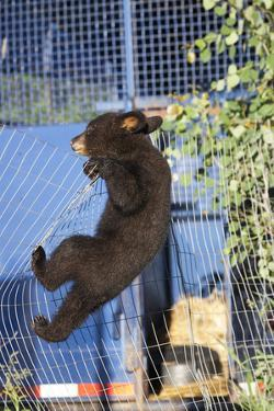 Black Bear (Ursus Americanus) Cub Climbing A Fence, Minnesota, USA, May by Shattil & Rozinski