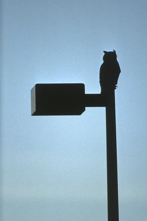 Great Horned Owl (Bubo Virginianus) Perched on Top of a Lamp Post, Colorado, Usa, January