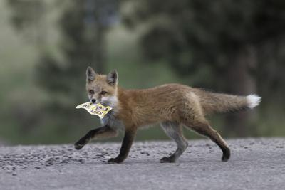 Red Fox (Vulpes Vulpes) Cub Walking Along City Street with a Coupon in its Mouth