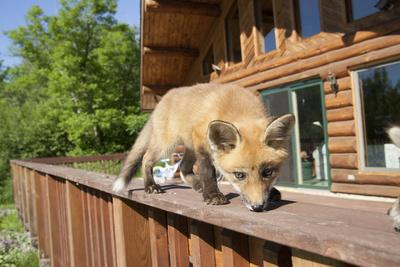 Red Fox (Vulpes Vulpes) Cub Walking On A Fence, Minnesota, USA, May