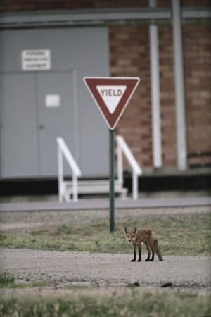 Red Fox (Vulpes Vulpes) Standing in Front of a Road Sign, Denver, Colorado, June