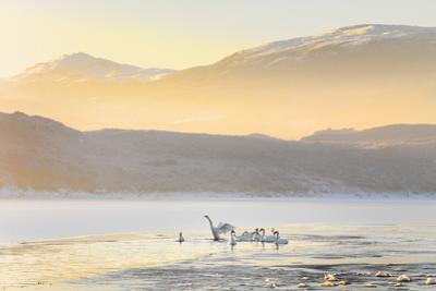 Ireland, Co.Donegal, Mulroy bay, Swans on frozen water by Shaun Egan