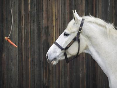 Carrot Dangling in Front of Horse