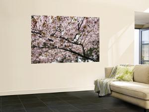 Cherry Blossums (Sakura) Along Cherry Blossum Street in Shizunai by Shayne Hill