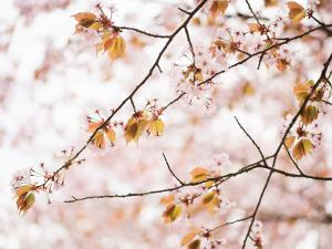Cherry Blossums (Sakura) Near Shizunai by Shayne Hill