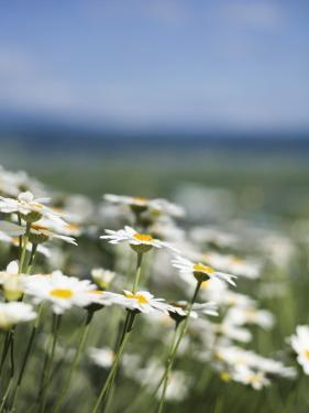 Daisies at Lavender Farm in Furano by Shayne Hill