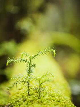 Plants and Moss Along Arakawa Trail to Jomon Sugui (Giant Tree) by Shayne Hill