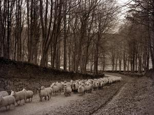 Sheep are Brought Down from the High Pastures to Their Winter Grazing, 1934