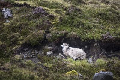 https://imgc.allpostersimages.com/img/posters/sheep-faeroese-hidden-in-moor_u-L-Q1EY6O40.jpg?artPerspective=n