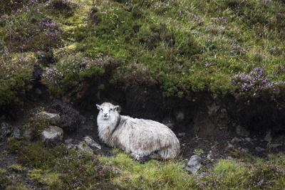 https://imgc.allpostersimages.com/img/posters/sheep-faeroese-hidden-in-moor_u-L-Q1EY9X20.jpg?artPerspective=n