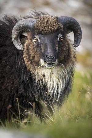 https://imgc.allpostersimages.com/img/posters/sheep-faeroese-portrait_u-L-Q1EY83R0.jpg?artPerspective=n