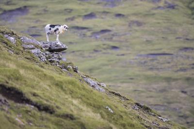 https://imgc.allpostersimages.com/img/posters/sheep-faeroese-scenery_u-L-Q1EY8SI0.jpg?artPerspective=n