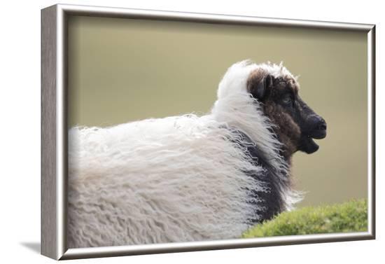 Sheep, Faeroese,-olbor-Framed Photographic Print