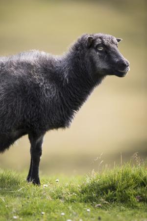 https://imgc.allpostersimages.com/img/posters/sheep-faeroese_u-L-Q1EY8NM0.jpg?artPerspective=n