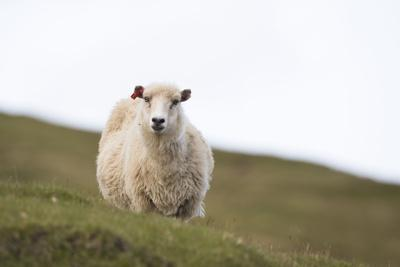 https://imgc.allpostersimages.com/img/posters/sheep-faeroese_u-L-Q1EY9TY0.jpg?artPerspective=n