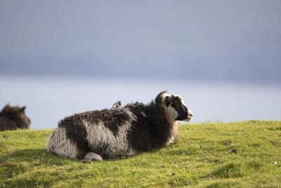 https://imgc.allpostersimages.com/img/posters/sheep-faeroese_u-L-Q1EYA200.jpg?artPerspective=n