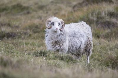 https://imgc.allpostersimages.com/img/posters/sheep-faeroese_u-L-Q1EYCYZ0.jpg?artPerspective=n