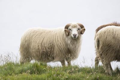 https://imgc.allpostersimages.com/img/posters/sheep-faeroese_u-L-Q1EYEC30.jpg?artPerspective=n