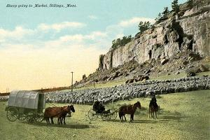 Sheep Going to Market, Billings