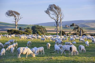 https://imgc.allpostersimages.com/img/posters/sheep-grazing-in-the-green-fields-of-the-catlins-south-island-new-zealand-pacific_u-L-PQ8SKB0.jpg?p=0