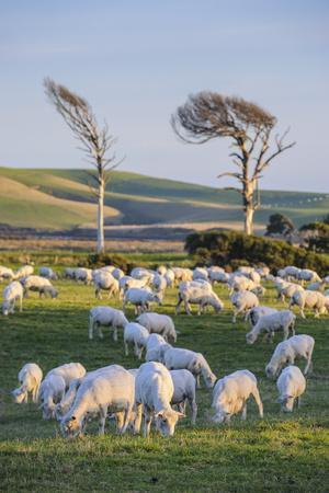 https://imgc.allpostersimages.com/img/posters/sheep-grazing-in-the-green-fields-of-the-catlins-south-island-new-zealand-pacific_u-L-PQ8SKN0.jpg?artPerspective=n