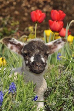 Sheep Lamb in Spring Flowers
