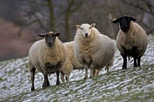 Sheep Mixture of Suffolk and Welsh Mountain Breeds