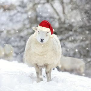 Sheep Texel Ewe in Snow Wearing Christmas Hat