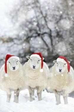 Sheep Texel Ewes in Snow Wearing Christmas Hats