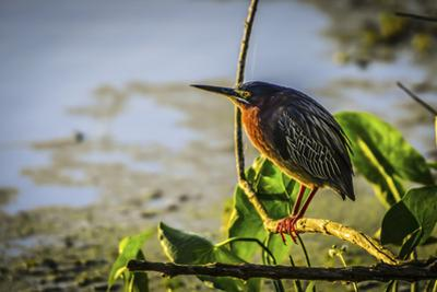 A green heron perched in the morning sunlight by Sheila Haddad