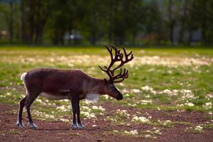 A Reindeer or Caribou Standing in Grass Wary by Sheila Haddad