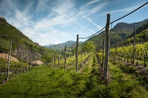 A Vineyard on a Hillside in Northern Italy with the Alps by Sheila Haddad